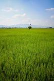 Granja del arroz Fotos de archivo libres de regalías