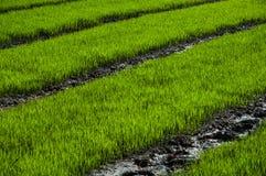 Granja del arroz Fotografía de archivo libre de regalías