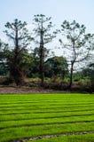 Granja del arroz Foto de archivo libre de regalías