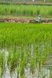 Granja del arroz Foto de archivo