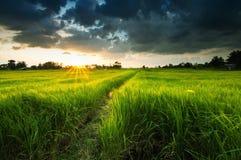 Granja del arroz antes de la puesta del sol Fotografía de archivo