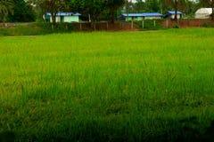Granja del arroz con el fondo casero fotografía de archivo