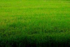 Granja del arroz en período verde imagen de archivo libre de regalías