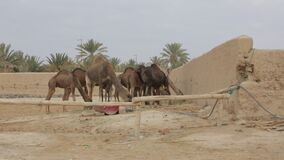 Granja del camello almacen de metraje de vídeo