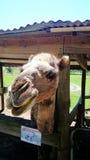 Granja del camello @ Imágenes de archivo libres de regalías