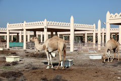 Granja del camello en Bahrein Imagen de archivo