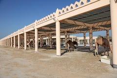 Granja del camello en Bahrein Imágenes de archivo libres de regalías