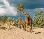 Granja del camello en Djerba Foto de archivo libre de regalías