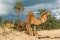 Granja del camello en Djerba Imagen de archivo