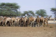 Granja del camello en la India Foto de archivo