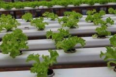 Granja del hidrocultivo de las verduras Fotografía de archivo