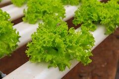 Granja del hidrocultivo de las verduras Fotografía de archivo libre de regalías