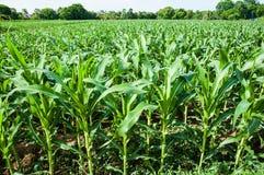 Granja del maíz Imagenes de archivo