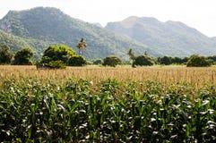 Granja del maíz Imágenes de archivo libres de regalías
