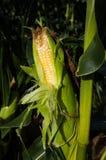 Granja del maíz Foto de archivo libre de regalías