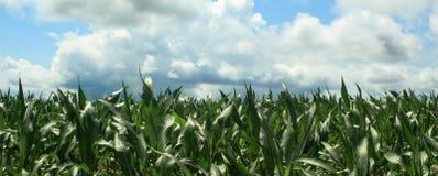 Granja del maíz Imagen de archivo libre de regalías