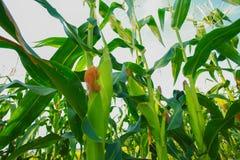 Granja del maíz Fotografía de archivo
