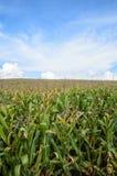 Granja del maíz con el cielo foto de archivo