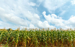 Granja del maíz en Tailandia Imagen de archivo libre de regalías