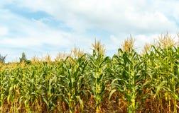 Granja del maíz en Tailandia Imagenes de archivo