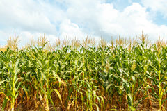 Granja del maíz en Tailandia Imagen de archivo