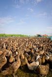 Granja del pato Fotos de archivo libres de regalías