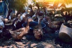 Granja del pato en Tailandia Imagen de archivo libre de regalías