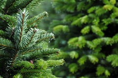 Granja del árbol de navidad Imagen de archivo libre de regalías