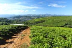 Granja del té de Cau Dat por una mañana soleada Foto de archivo libre de regalías