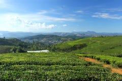 Granja del té de Cau Dat por una mañana soleada Fotografía de archivo libre de regalías
