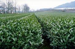 Granja del té del té verde de largo-jin Imágenes de archivo libres de regalías
