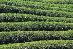 Granja del té en Chiang Rai Imagen de archivo libre de regalías