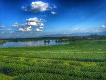 Granja del té en Chiangrai Tailandia Imagenes de archivo