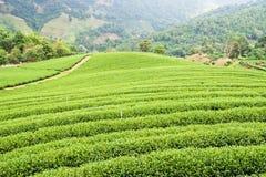 Granja del té verde Foto de archivo