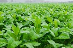 Granja del tabaco (tabacum Linn de la nicociana) Foto de archivo libre de regalías