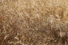 Granja del trigo Fotos de archivo libres de regalías