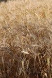 Granja del trigo Imágenes de archivo libres de regalías