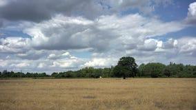 Granja del trigo en la zona rural almacen de video