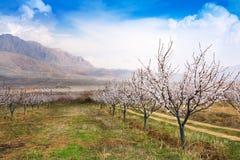 Granja durante la estación sping, Armenia del albaricoque fotografía de archivo