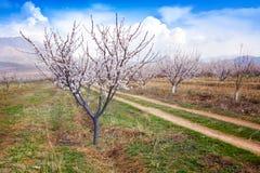 Granja durante la estación sping, Armenia del albaricoque fotos de archivo