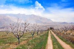 Granja durante la estación sping, Armenia del albaricoque foto de archivo libre de regalías