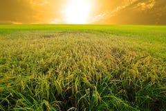 Granja experimental del arroz (prueba transgénica) Imagen de archivo