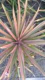 Granja fresca Chaiyaphum Tailandia de la piña Imagenes de archivo
