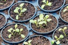 Granja hidropónica de Rucola Plantas jovenes de Rucola, cohetes jovenes, brotes de Rucola, almácigos de la primavera Vehículo san foto de archivo