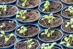 Granja hidropónica de Rucola Plantas jovenes de Rucola, cohetes jovenes, brotes de Rucola, almácigos de la primavera Vehículo san imagen de archivo libre de regalías