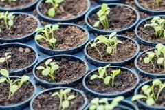 Granja hidropónica de Rucola Plantas jovenes de Rucola, cohetes jovenes, brotes de Rucola, almácigos de la primavera Vehículo san imagen de archivo