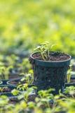 Granja hidropónica de Rucola Plantas jovenes de Rucola, cohetes jovenes, brotes de Rucola, almácigos de la primavera Vehículo san fotografía de archivo libre de regalías