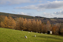 Granja irlandesa de las ovejas Imagen de archivo