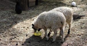 Granja Las ovejas comen el heno al aire libre cerca de la cerca almacen de video
