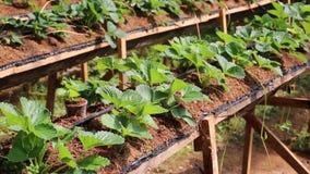 Granja orgánica de la fresa, jardín en el distrito de Don Duong, ciudad del lat de DA, provincia de Lam Dong, Vietnam metrajes